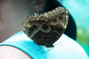 Blue Morpho butterfly on Dawn's shoulder