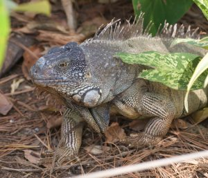 Iguana roamed freely, looking terribly prehistoric.
