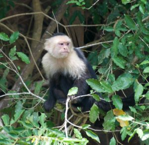 Capuchin monkey, like cappuccino, brown body and white on top.