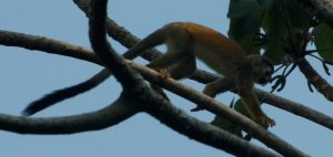 Spider monkey, actually an invasive species.