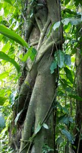 Strangler fig: It starts as an epiphyte, grows down the side of the tree, squeezes it to death, and takes its airspace.